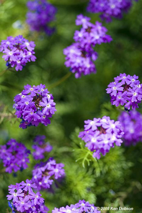 Goodding's Verbena (Glandularia gooddingii)
