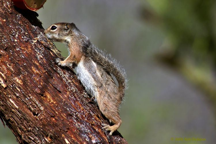 Harris' Antelope Squirrel (Ammospermophilus harrisii)