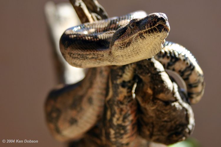 Boa Constrictors for Sale by Gene  MorphMarket USA