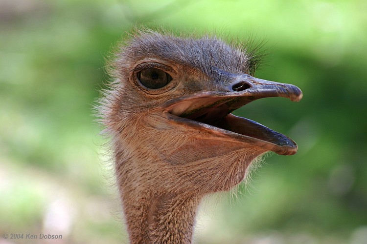 Red-Necked Ostrich (Struthio camelus camelus)