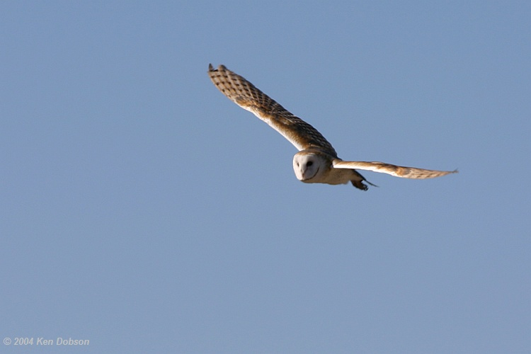 Barn Owl (Tyto alba) in flight