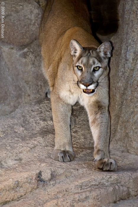 Mountain Lion (Felis concolor)