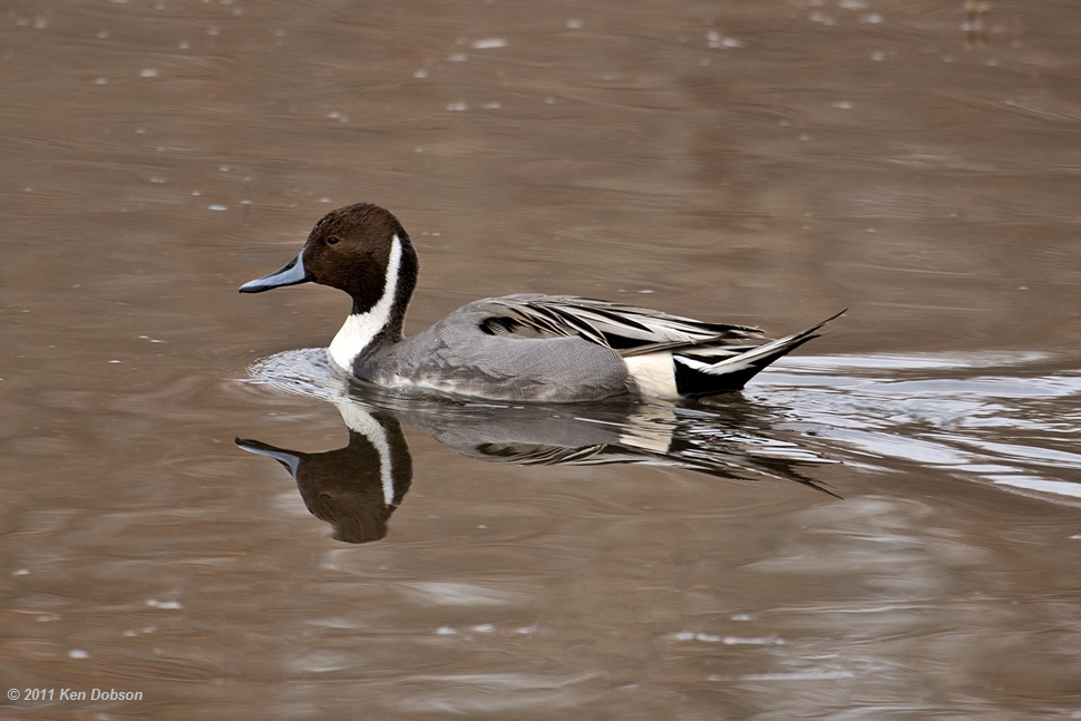 Northern Pin Tail Duck (Anas acuta)