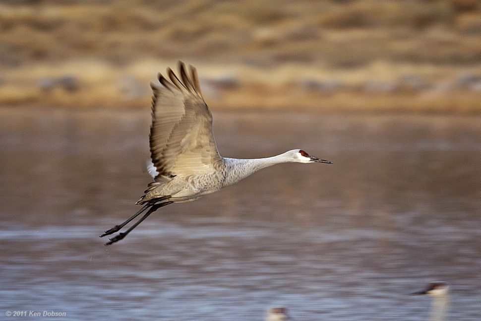 Sand Hill Crane in Flight #1