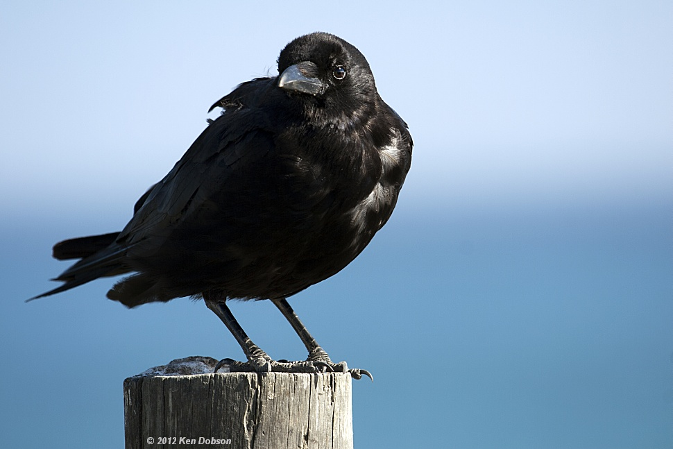California Crow