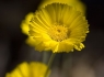 Desert Marigolds (Baileya multiradiata)