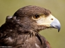 Harris' Hawk (Parabuteo unicinctus)