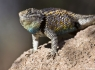 Purple-Backed Spiny Lizard (Sceloporus magister magister)