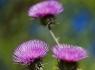 New Mexico Thistle (Cirsium neomexicanum)