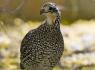 Masked Bobwhite Quail (Colinus virginianus ridgwayi)