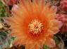 Barrel Cactus (Ferocactus wislizenii)