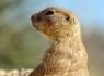 Prairie Dog (Cynomys)
