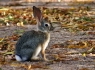 Desert Cottontail Rabbit (Sylvilagus audubonii)