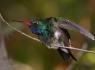 Broad Billed Hummingbird (Cynanthus latirostris)
