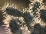 Cholla Cactus (Genus Opuntia)