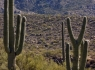 Y-shaped Saguaro
