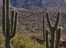 Y-shaped Saguaro