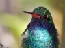 Broad-billed Hummingbird (Cynanthus latirostris)