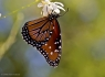 Upside down Queen Butterfly (Danaus gilippus)