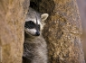 Common Raccoon (Procyon lotor)