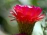 Torch Cactus (Echinopsis huascha)
