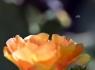 Texas Prickly Pear Cactus (Opuntia engelmannii lindheimeri)