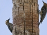 Gila Woodpeckers (Melanerpes uropygialis)