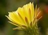 Yellow Torch Cactus (Echinopsis_huascha)