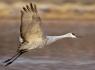 Sand Hill Crane in Flight #1