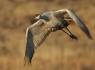 Sand Hill Crane in Flight #2