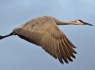 Sand Hill Crane in Flight #3