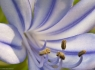 African Lilly (Agapanthus africanus)