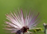 Fairy Duster (Calliandra eriophylla)