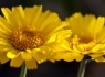 Desert Marigolds (Baileya multiradiata) #2 of 3