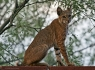 Bobcat (Lynx rufus) ·